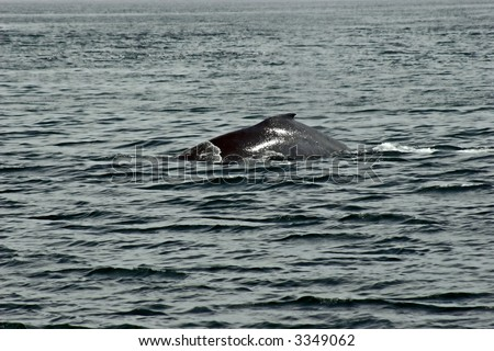 The upper back of hunchback whale in Alaska. - stock photo