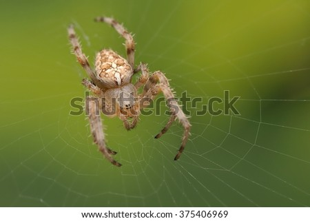 The uropean garden spider (Araneus diadematus) sitting in the spider net with green background. Big brown, light spider with the cross on the orb web close up. - stock photo