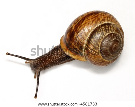 The usual snail caught on morning in a garden