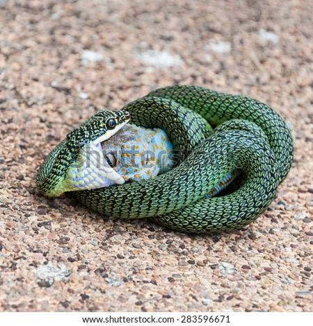 The venom green snake is eating gecko - stock photo