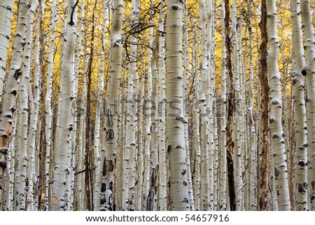 The vertical white trunks of the aspen trees contrast against the golden backdrop of the  fall leaves. - stock photo