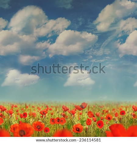 The very big blooming poppies field during sunny day - stock photo