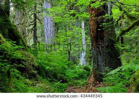 The Vibrant Green Hoh Rainforest Trail.  Olympic National Park, Washington - stock photo
