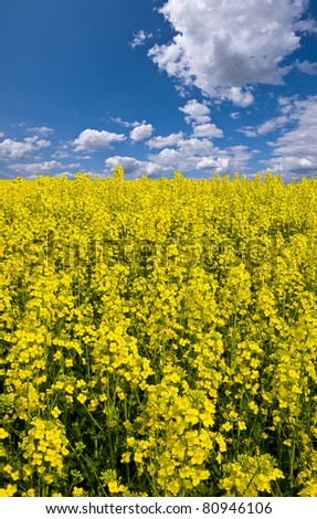 the view across a bright yellow filed of canola or oilseed rape with a bright sunny blue sky beyond in portrait format - stock photo