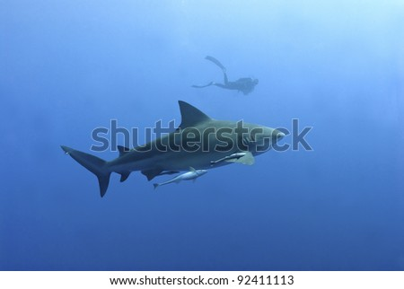 The view of a bull shark with a diver in the background, Pinnacles, Mozambique
