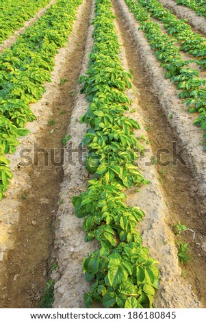 the view of the farm,potato - stock photo