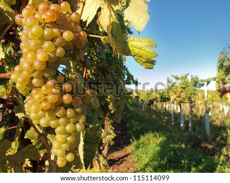 The vineyard - stock photo