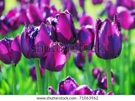 The violet tulips - stock photo