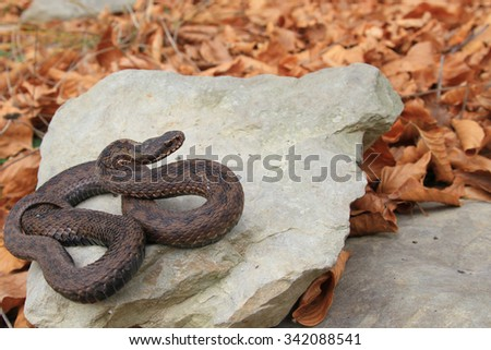 The viper is heated on stones in cloudy autumn day against fallen leaves