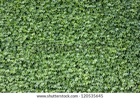 The wall brick covered by green leaves. - stock photo