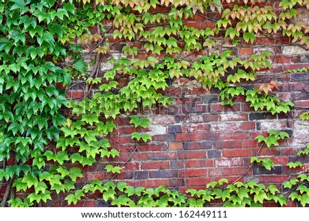 The wall of the castle palace overgrown with ivy plants - stock photo