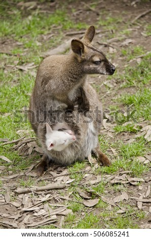 the wallaby has an albino joey in her pouch