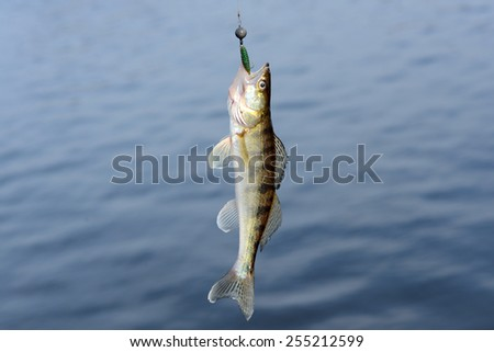 the walleye fish on the hook - stock photo