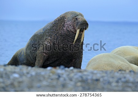 The walrus, Odobenus rosmarus, stick out from blue water on pebble beach, Svalbard, Norway - stock photo