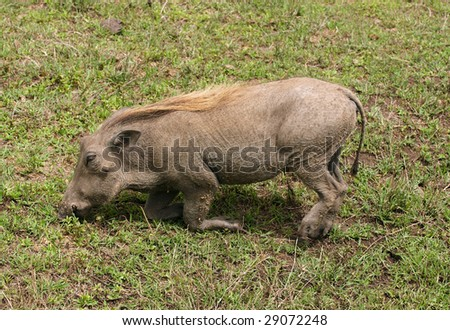 The warthog - wild member of the pig family that lives in Africa. - stock photo