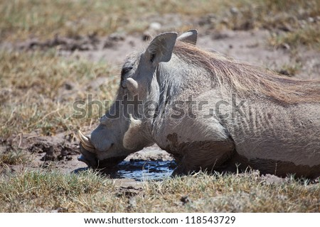 The warthogs cover themselves in mud in order to blend into the soil. Serengeti National Park, Tanzania - stock photo