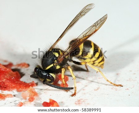 The wasp eats water-melon slices - stock photo
