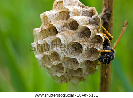 The wasp nest on the plant stem with wasp on it - stock photo