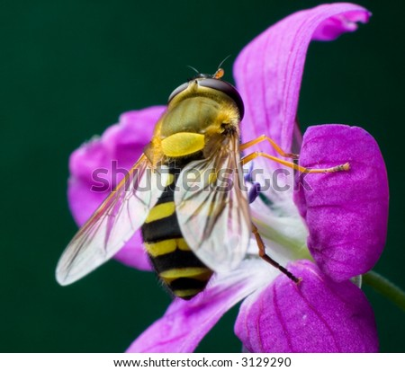 the wasp on the Woodland Geranium flower, close-up photo