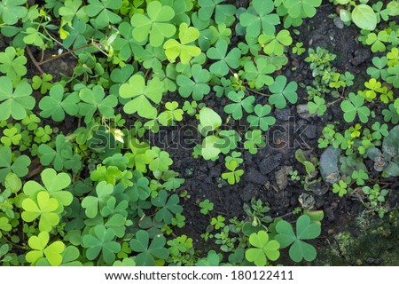 the Water clover is green heart leaf in the garden - stock photo