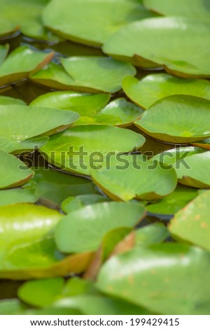 The water lily or Nymphaea in the pool