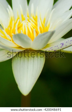 The water lily or Nymphaea in the pool - stock photo