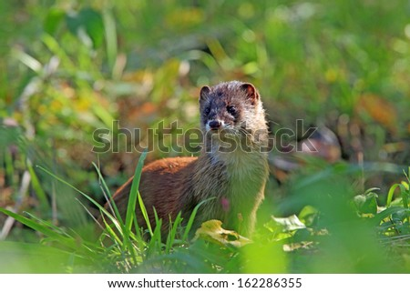 The weasel popped his head up over the grass and observe neighboring states./Weasel - stock photo