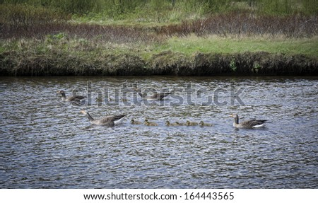 The Western Greylag Goose  (Anser anser anser) is the largest and bulkiest of the grey geese of the genus Anser. It has pink legs and feet, and an orange or pink bill - stock photo