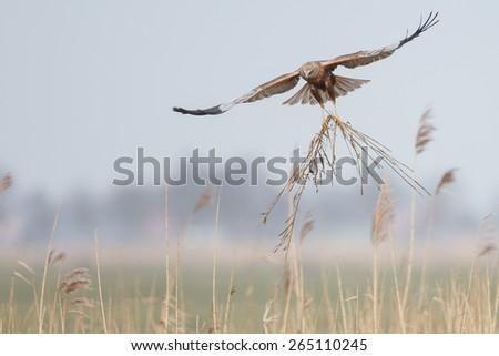 The western marsh harrier (Circus aeruginosus) in flight during mating season - stock photo