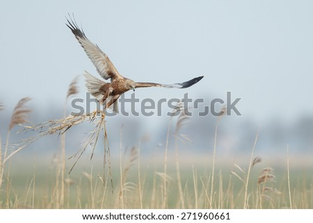 The western marsh harrier (Circus aeruginosus) in flight during mating season - stock photo