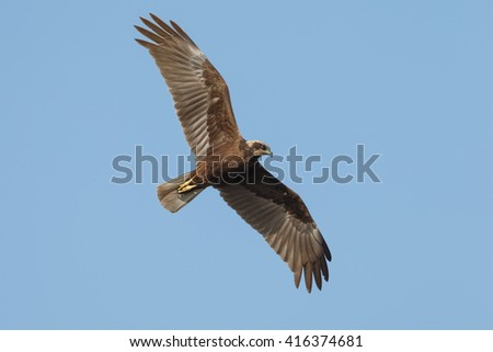 The western marsh harrier female (Circus aeruginosus) in flight during mating season