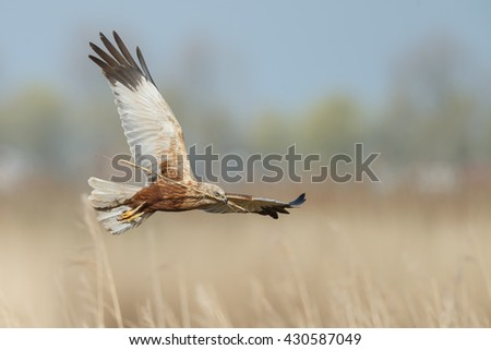 The western marsh harrier male (Circus aeruginosus) in flight during mating season