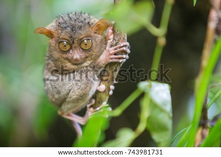 The wet baby tarsier dries on the branch after a heavy tropical rain forest of Indonesia