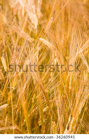 the Wheaten field  of the meadow.