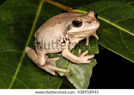 The whistling tree frog or Verreaux's tree frog is a frog occurring in Australia. It has been divided into two subspecies, the nominate Verreaux's tree frog and the Verreaux's alpine tree frog. - stock photo