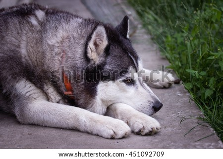 The white and gray husky dog in the park