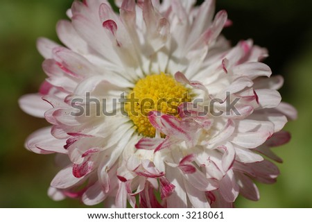 the white and red  camomile in botany garden, close-up, macro - stock photo