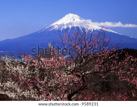 The white and red Japanese apricot blossom and Mt fuji - stock photo