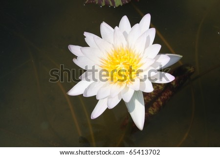 the white and yellow lotus
