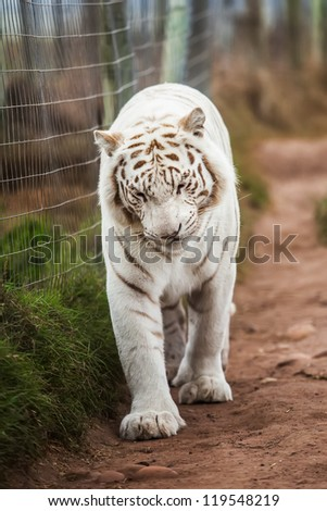 The white Bengal tiger are walking along the fence. - stock photo