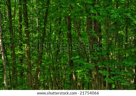 The white birch(HDR) - stock photo