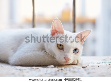 The white cat on the balcony,Yellow and blue eyes