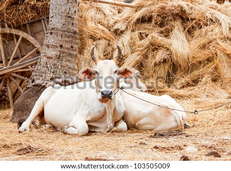 The white cow lying in the hay, Cambodia. - stock photo