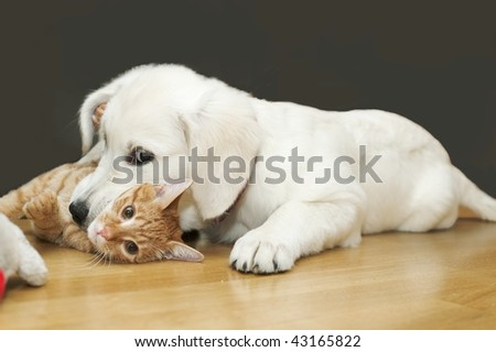 The white dog plays with red cat and bites it for neck - stock photo