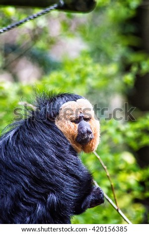 The white-faced saki (Pithecia pithecia), also known as the Guianan saki and the golden-faced saki, is a species of saki monkey, This species lives in the understory and lower canopy of the forest,