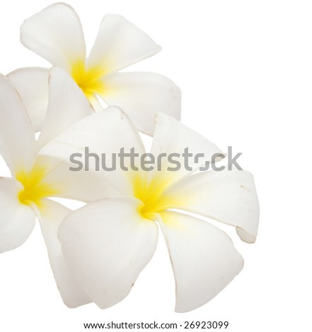 the white frangipani flowers - stock photo