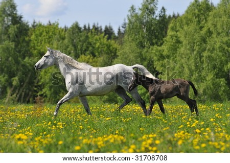the white horse whith foal trots on the meadow - stock photo