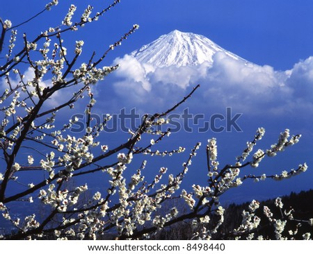 The white Japanese apricot blossom and  Mt fuji - stock photo