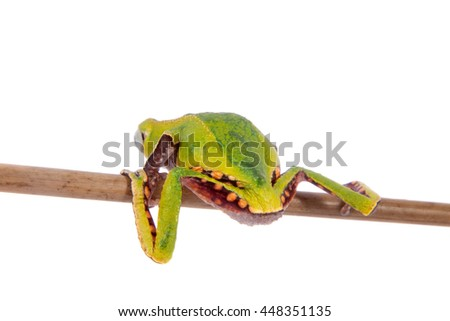 The white-lined leaf frog, Phyllomedusa vaillantii, isolated on white background