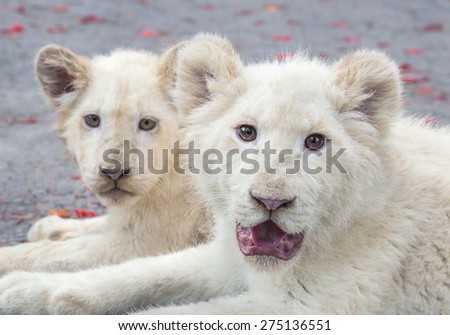 The white lion cubs. - stock photo